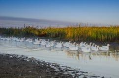 Κοπάδι των χήνων που κολυμπούν στον ποταμό νωρίς το πρωί Στοκ Εικόνα