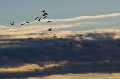 Κοπάδι των χήνων που πετούν πέρα από τον ουρανό πρωινού Στοκ Φωτογραφίες