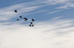 Κοπάδι των χήνων που σκιαγραφούνται ενάντια σε έναν όμορφο ουρανό πρωινού Στοκ Φωτογραφίες