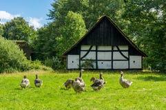Κοπάδι των χήνων που τρώνε τη χλόη Στοκ φωτογραφία με δικαίωμα ελεύθερης χρήσης