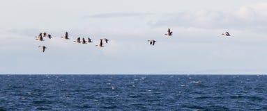Κοπάδι των χήνων Anser albifrons που πετούν πέρα από το ατλαντικό ocea Στοκ φωτογραφίες με δικαίωμα ελεύθερης χρήσης