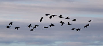 Κοπάδι των χήνων Anser albifrons (σκιαγραφία) που πετούν πέρα από το Atla Στοκ εικόνες με δικαίωμα ελεύθερης χρήσης