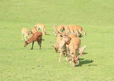 Κοπάδι των deers Στοκ εικόνα με δικαίωμα ελεύθερης χρήσης