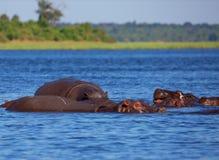 Κοπάδι των hippos μια καυτή ημέρα Στοκ Εικόνες