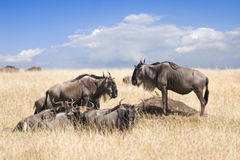 Κοπάδι των wildebeests Στοκ φωτογραφία με δικαίωμα ελεύθερης χρήσης