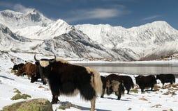 Κοπάδι των yaks στο χιόνι στην περιοχή Annapurna Στοκ Εικόνες