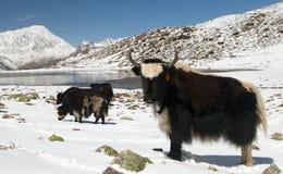 Κοπάδι των yaks στο χιόνι στην περιοχή Annapurna Στοκ Φωτογραφία