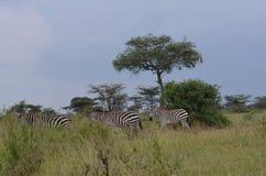 Κοπάδι των zebras στο εθνικό πάρκο serengeti στην Τανζανία Στοκ Εικόνες