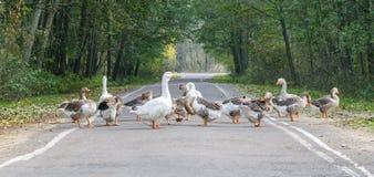 Κοπάδι χήνων (ομάδα) Στοκ φωτογραφία με δικαίωμα ελεύθερης χρήσης