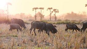 Κοπάδι Buffalo που περπατά στον τομέα επαρχίας φιλμ μικρού μήκους