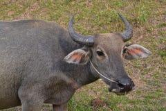 Κοπάδι Buffalo Στοκ εικόνα με δικαίωμα ελεύθερης χρήσης