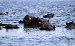 Κοπάδι Hippo στοκ φωτογραφίες με δικαίωμα ελεύθερης χρήσης