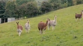 Κοπάδι llamas που βόσκουν στο βρετανικό τομέα απόθεμα βίντεο