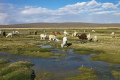 Κοπάδι llamas του altiplano στο Περού Στοκ Εικόνες
