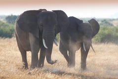 Κοπάδι ofelephant στο εθνικό πάρκο Amboseli Στοκ Εικόνες