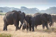 Κοπάδι ofelephant στο εθνικό πάρκο Amboseli Στοκ Φωτογραφία