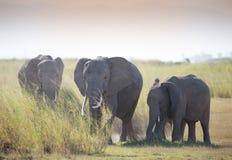 Κοπάδι ofelephant στο εθνικό πάρκο Amboseli Στοκ Εικόνα