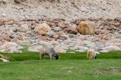Κοπάδι Pashminas σε Ladakh, Ινδία Στοκ Εικόνα