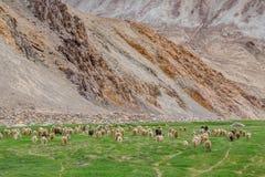 Κοπάδι Pashminas σε Ladakh, Ινδία Στοκ Εικόνες