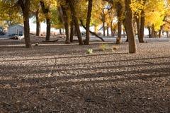 Κοπάδι Populus Στοκ Εικόνα