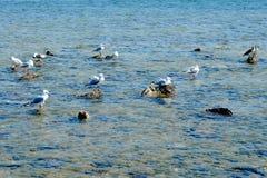 Κοπάδι seagull στη δύσκολη ακτή Στοκ Εικόνες