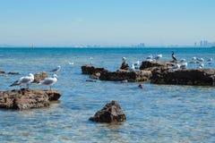 Κοπάδι seagull στη δύσκολη ακτή Στοκ Φωτογραφίες