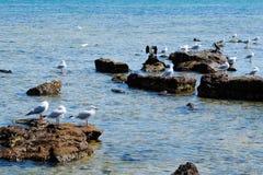 Κοπάδι seagull στη δύσκολη ακτή Στοκ Φωτογραφία