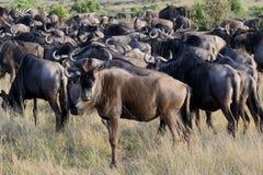 Κοπάδι Wildebeest στο χορτοτάπητα Στοκ Εικόνες