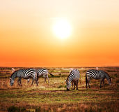 Κοπάδι Zebras στην αφρικανική σαβάνα στο ηλιοβασίλεμα. Στοκ Εικόνα