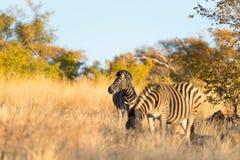 Κοπάδι Zebras στο θάμνο στοκ φωτογραφίες