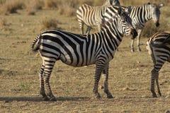 Κοπάδι Zebras Στοκ Εικόνες