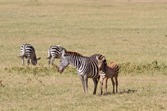 Κοπάδι Zebras Στοκ εικόνα με δικαίωμα ελεύθερης χρήσης