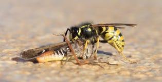Κοπή σφηκών ενός grasshoppers κεφαλιού στοκ φωτογραφίες με δικαίωμα ελεύθερης χρήσης