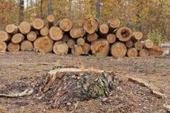 Κοπή των δέντρων Στοκ Φωτογραφίες