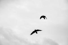 Κοράκια κατά την πτήση Στοκ Εικόνα