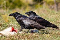 Κοράκια που τρώνε το θήραμά τους Στοκ Εικόνα