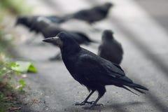 κοράκια Στοκ εικόνα με δικαίωμα ελεύθερης χρήσης