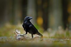 Κοράκι με τα νεκρά ευρωπαϊκά ελάφια αυγοτάραχων, σφάγιο στο δασικό μαύρο πουλί με το κεφάλι στο δασικό δρόμο Ζώο behavir, SCE σίτ στοκ εικόνες με δικαίωμα ελεύθερης χρήσης