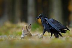 Κοράκι με τα νεκρά ευρωπαϊκά ελάφια αυγοτάραχων, σφάγιο στο δασικό μαύρο πουλί με το κεφάλι στο δασικό δρόμο Ζώο behavir, σίτιση στοκ φωτογραφίες με δικαίωμα ελεύθερης χρήσης