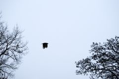 Κοράκι που πετά στα ύψη στον ουρανό στοκ φωτογραφίες