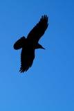κοράκι πτήσης Στοκ εικόνες με δικαίωμα ελεύθερης χρήσης