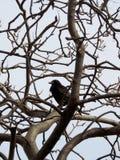 Κοράκι σε ένα δέντρο στοκ φωτογραφία με δικαίωμα ελεύθερης χρήσης