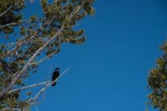 κοράκι Στοκ φωτογραφία με δικαίωμα ελεύθερης χρήσης