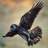 Κοράκι Corvus corax κατά την πτήση Στοκ Φωτογραφία