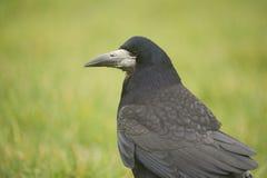 Κοράκι (Corvus Frugilegus) στοκ φωτογραφίες