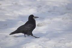 κοράκι frugilegus corvus Στοκ Φωτογραφία