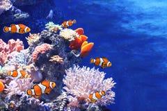 Κοράλλια θάλασσας και ψάρια κλόουν στοκ εικόνες με δικαίωμα ελεύθερης χρήσης