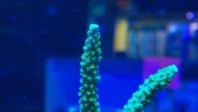 Κοράλλια Acropora απόθεμα βίντεο
