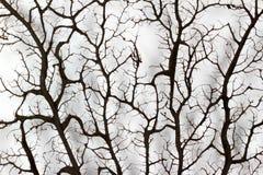 Κοράλλι ανεμιστήρων Στοκ Εικόνες