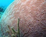 κοράλλι εγκεφάλου στοκ φωτογραφίες